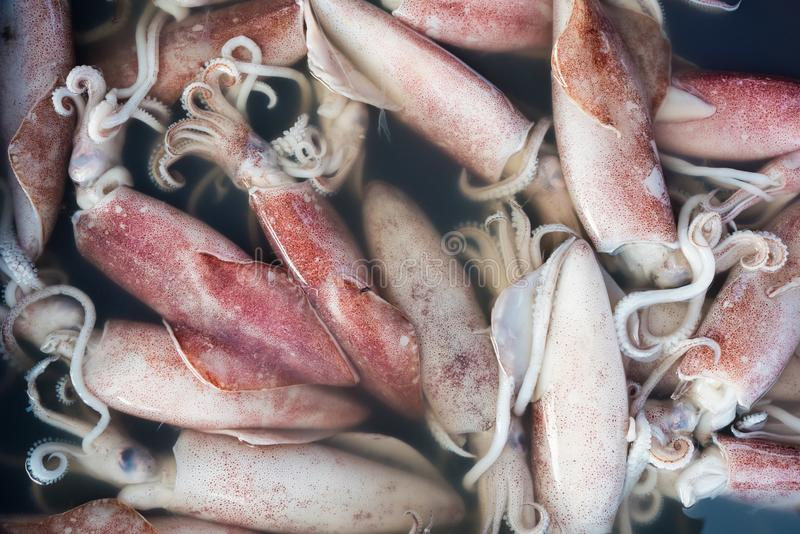 Fresh raw squid in seafood market royalty free stock photography