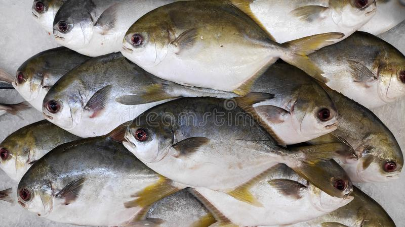 Fresh raw uncooked Golden Pomfret fishes on ice royalty free stock photos