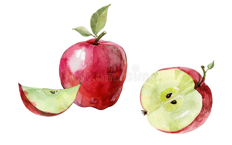 Fresh red apple cut in half isolated on white background. Ripe fruit in cross section. Watercolor painting. vector illustration