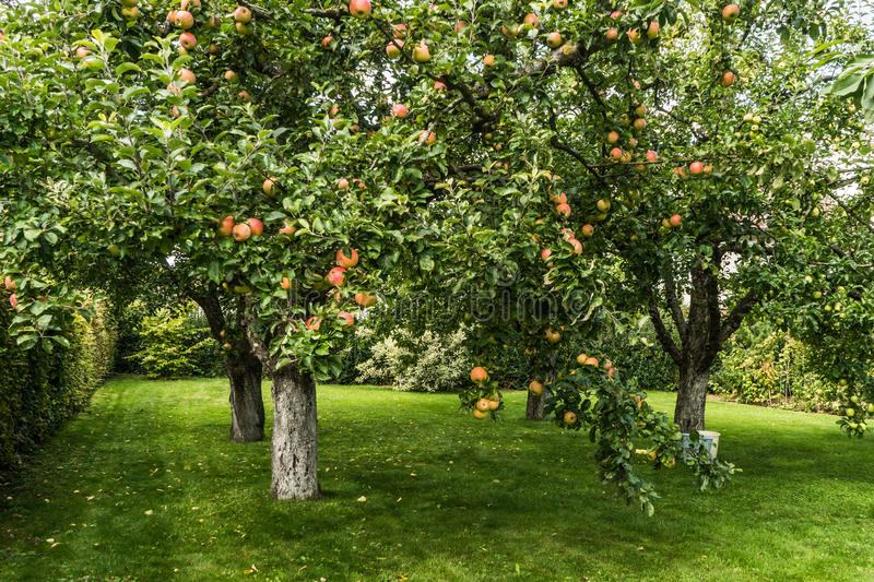 Fresh red apple on tree. Red and mellow apples on a tree royalty free stock images