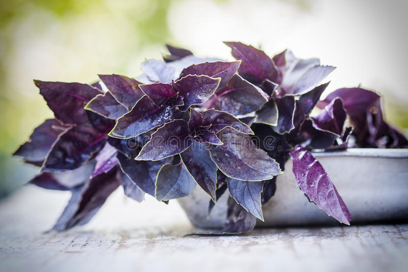 Download Fresh red basil, close up. stock photo. Image of artificial - 75044786