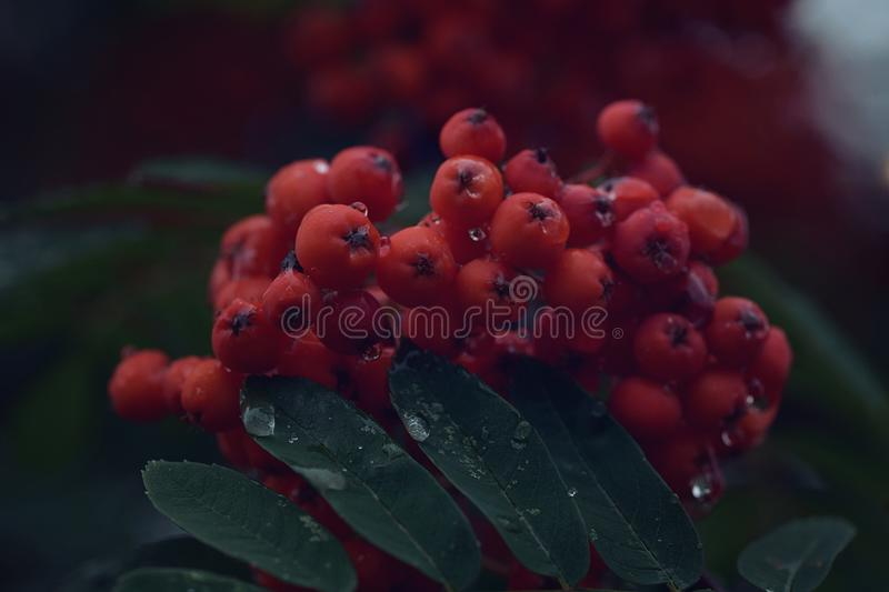 A bunch of early red mountain ash with withered berries after rain close-up royalty free stock image