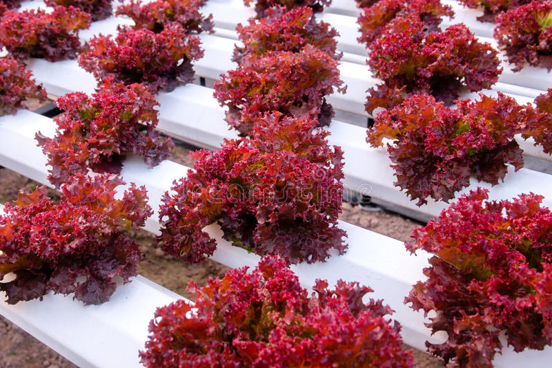 Fresh red coral lettuce. Growing with hydroponic method in greenh royalty free stock images