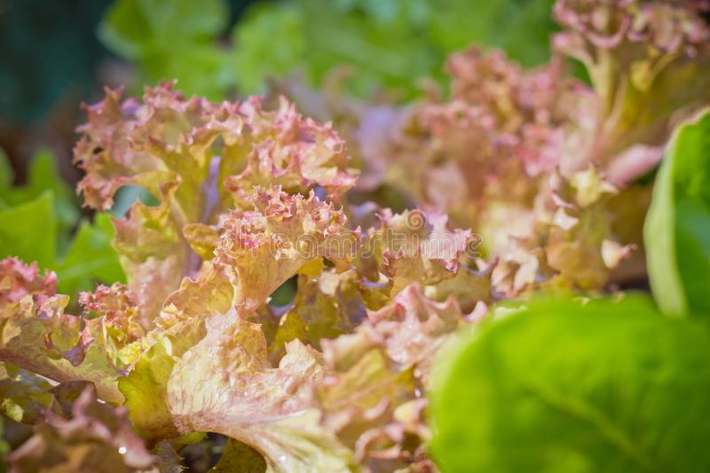 Fresh red coral lettuce on  organic vegetables salad  food background royalty free stock photos