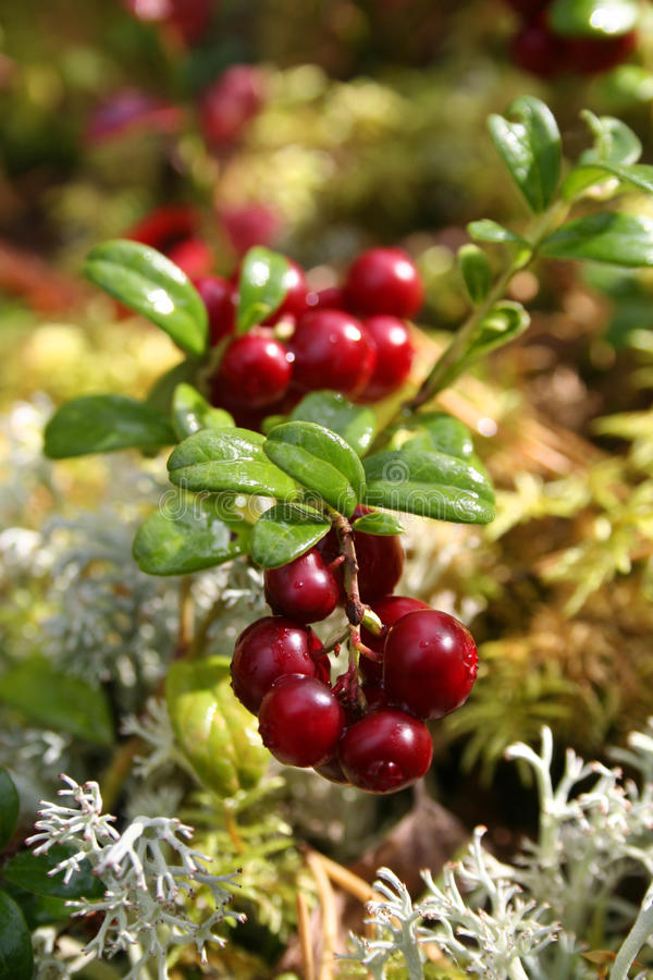Fresh red cranberries. On moss bed in autumn light stock image