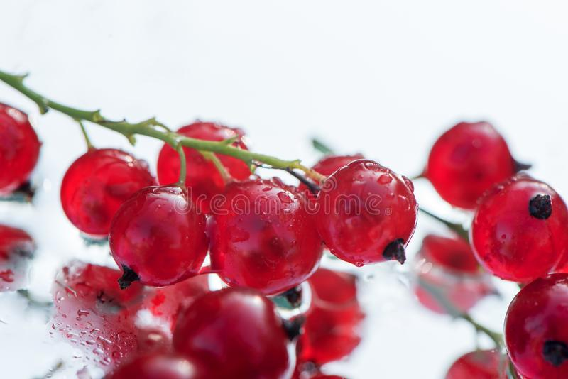 fresh red currant berries photographed closeup isolated on a white background stock image
