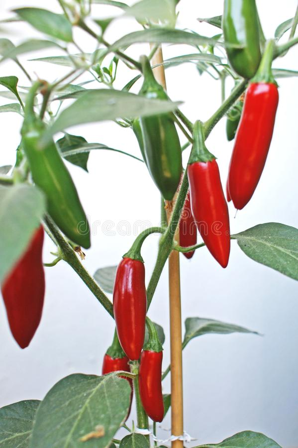 Green and red jalapeno peppers royalty free stock photos