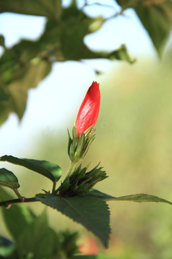 Fresh Red Hibiscus. royalty free stock images