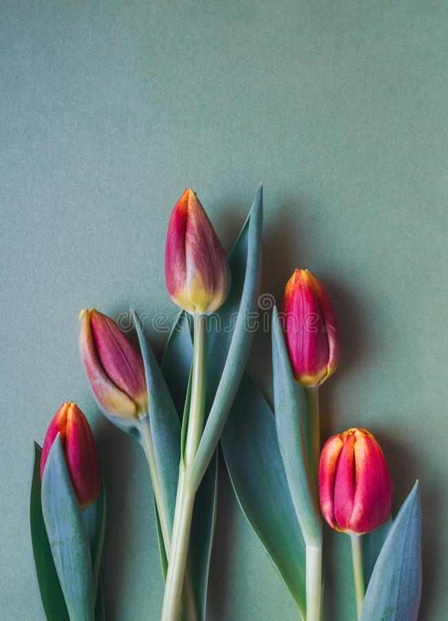 Fresh red, orange and yellow tulips on green background royalty free stock photos