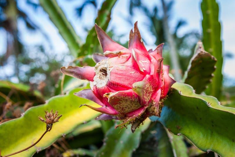 Green Dragon Fruit Or Pitaya Pitahaya Plantation In Bali