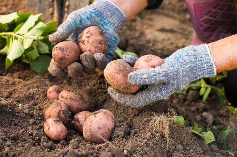 Fresh Red Potatoes In Hands Of Elderly Woman Dug Out Of Ground. stock photo