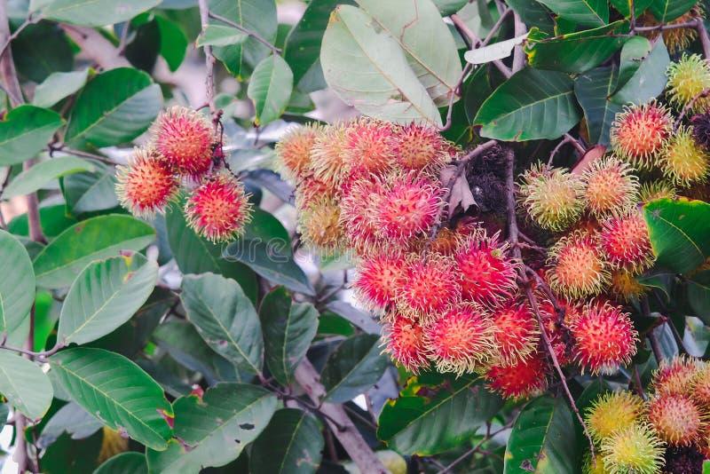 Fresh red rambutan on tree. At fram stock images