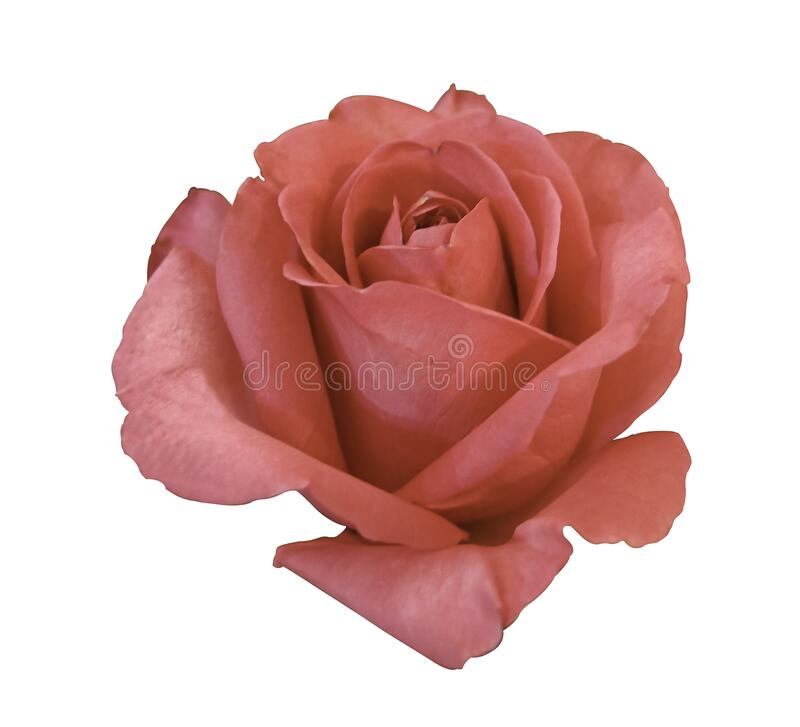 Macro beauty red pink rose flower blooming multi layer petal.isolated on white background.  botanic garden. symbol of love flower. For gift valentine . no stock photo