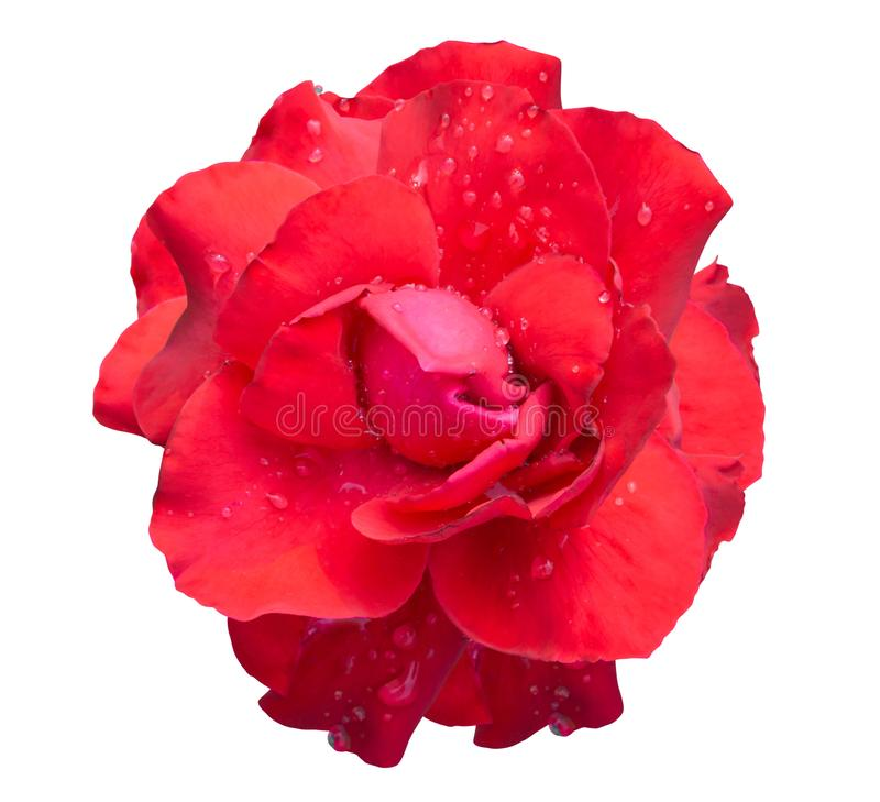 Fresh red rose flower isolated on white background with water drop. Fresh red rose flower isolated on white background stock photos
