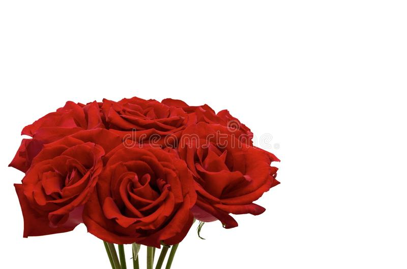 Fresh red roses which the couple like to give each other for Valentine's Day. Fresh red roses which the couple like to give each other for Valentine stock photography