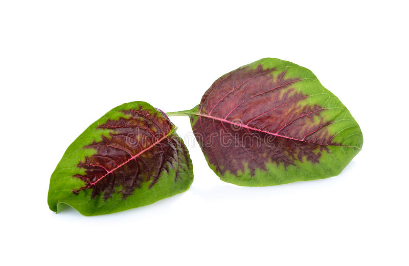 Fresh red spinach leaf on white background. Fresh red spinach leaf on a white background royalty free stock image