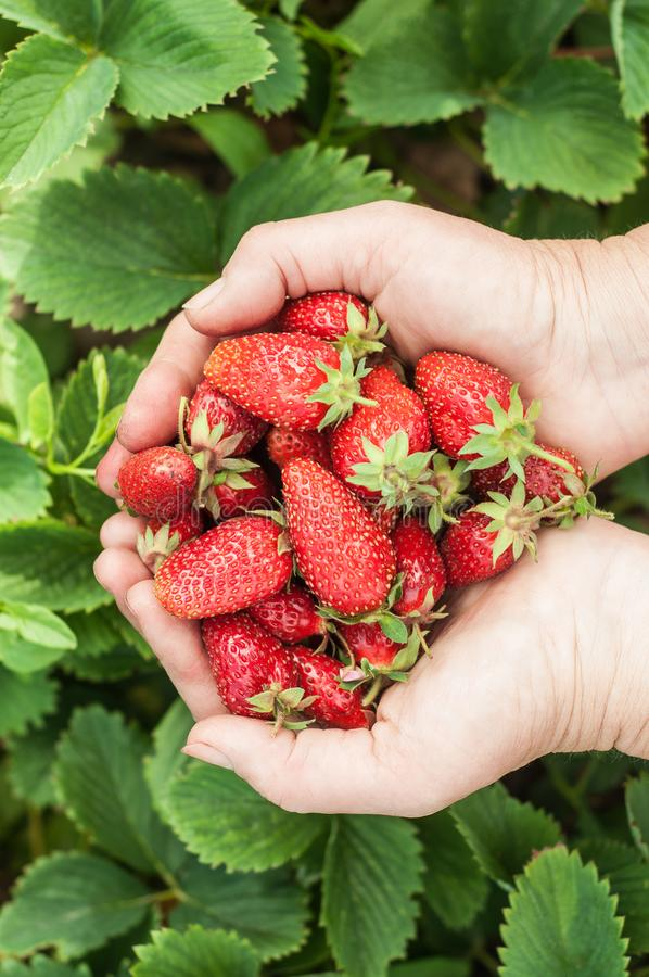 Fresh red strawberries in female hand royalty free stock photos
