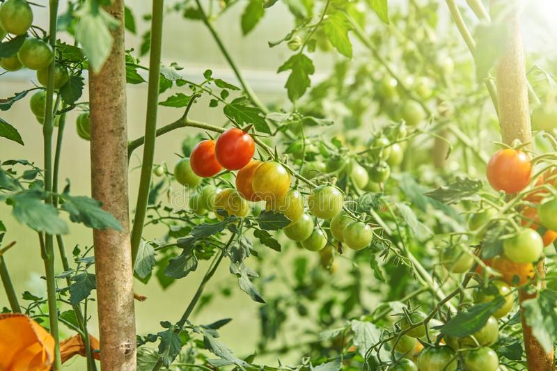 Fresh red tomatoes plant  ripening on the vine in organic greenhouse garden stock images