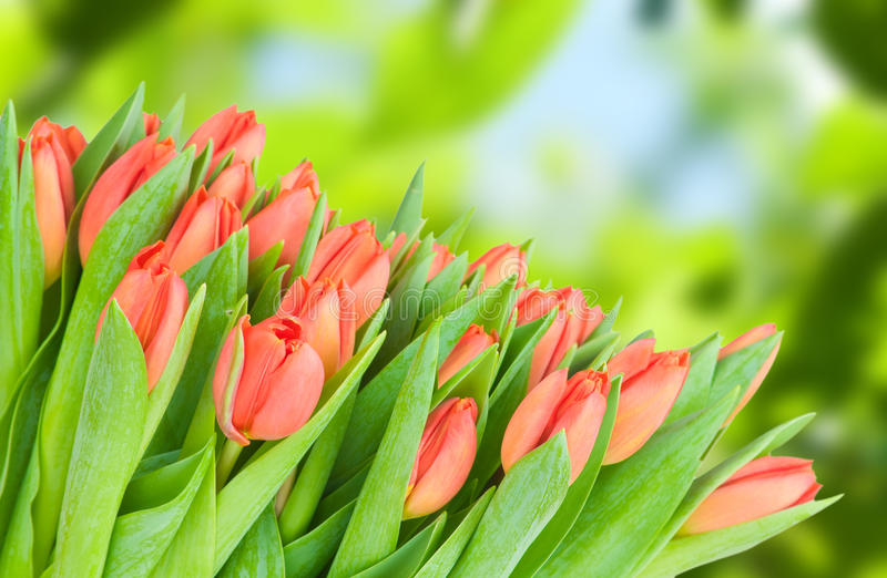 Fresh red tulips. Photo of fresh red tulips stock photography