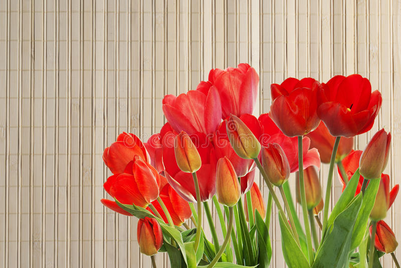 Fresh red tulips on wooden background. Beautiful garden fresh red tulips on wooden background royalty free stock photography
