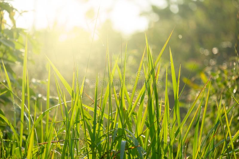 Fresh and Relax Green Spring Grass Background Under the Morning Sun Light royalty free stock images
