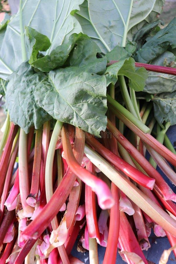 Fresh rhubarb in summer. Fresh rhubarb in sunny summer stock photos