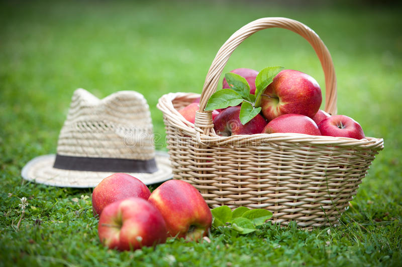 Download Fresh Ripe Apples In Basket Royalty Free Stock Photography - Image: 25541357