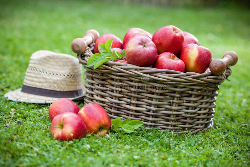 Download Fresh Ripe Apples In Basket Stock Image - Image: 25541365