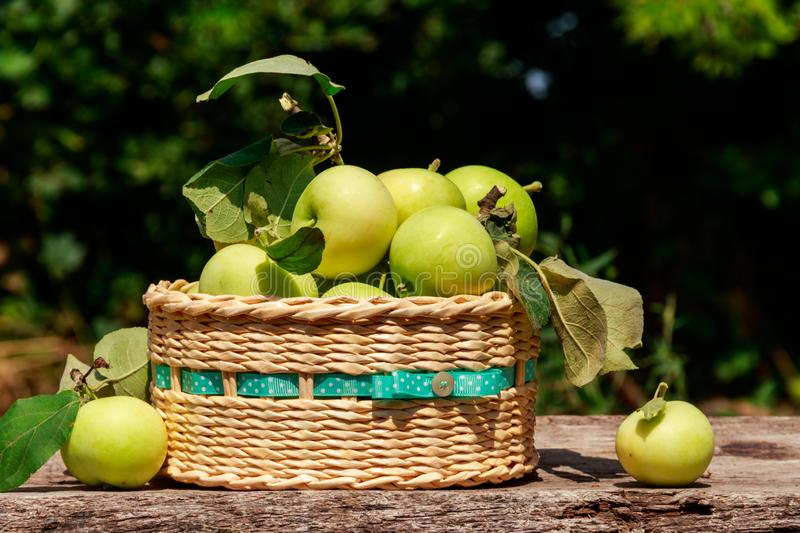 Fresh ripe apples in basket on the rustic wooden table outdoor. Harvesting concept stock image