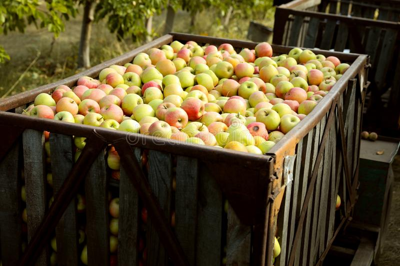 Fresh ripe apples in big crate. Outdoors royalty free stock photo