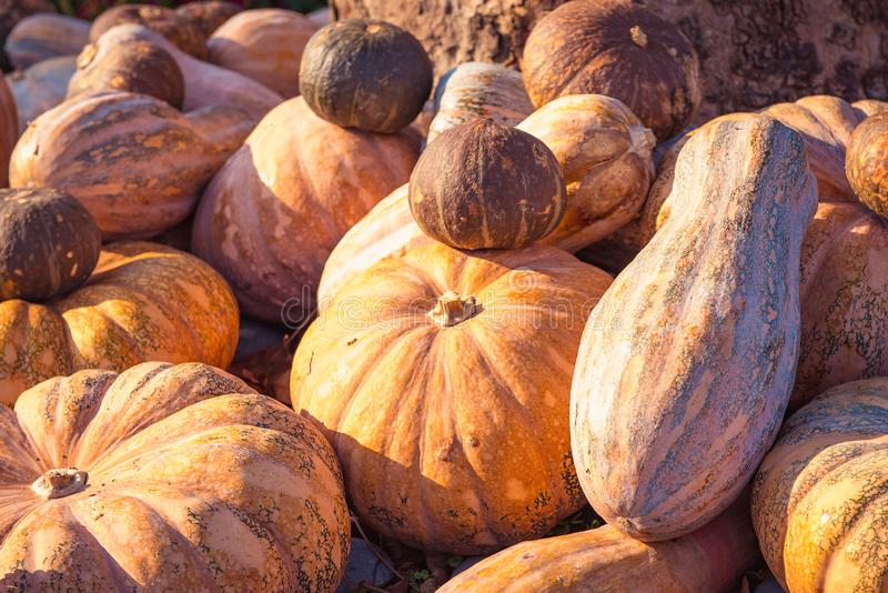 Fresh ripe autumn pumpkins lie, daylight. Harvest theme. stock photography