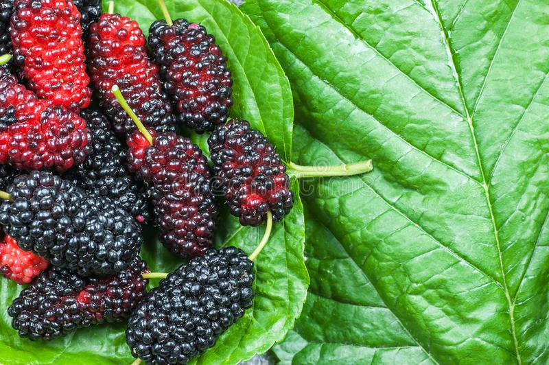 Fresh ripe black mulberry berry fruit on leaf background, blackberry summer red fruits concept royalty free stock photos