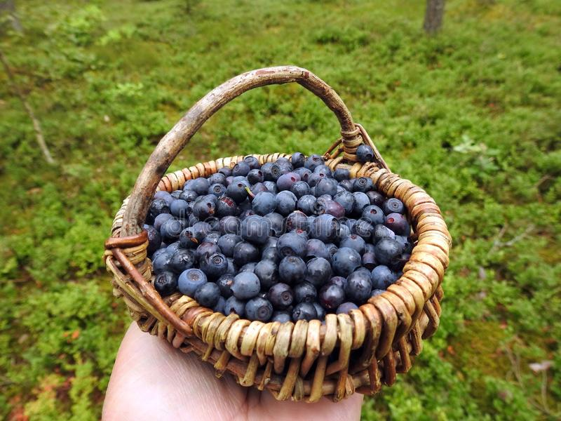 Wicker with ripe blueberries, Lithuania stock photos