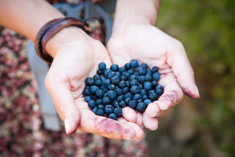 Person Holding Handful Blueberries Close Up Hands Photos