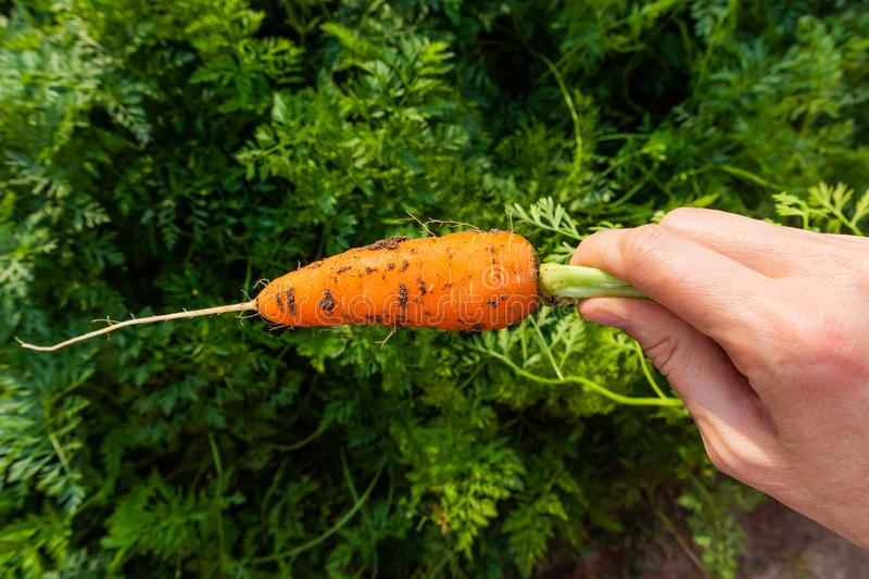 Fresh ripe carrots in a female hand stock image