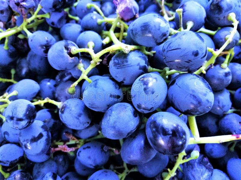 Fresh ripe grape. Dark blue wine grape royalty free stock image