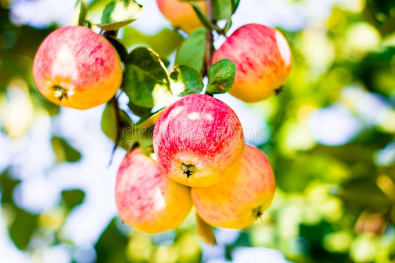 Fresh ripe juicy apples hanging on the branch in the garden, selective focus. Nature background. Harvest time. Harvesting fruits. royalty free stock photo
