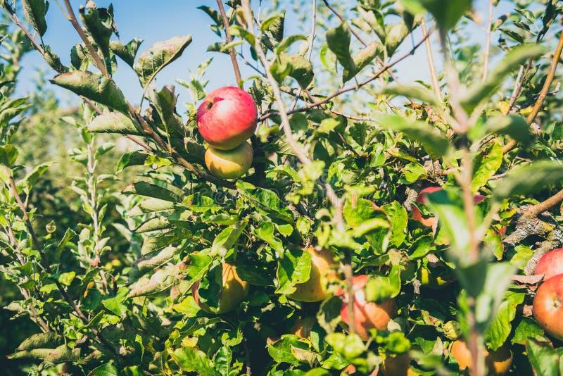 Fresh ripe organic apples on tree branch in apple orchard. stock photo