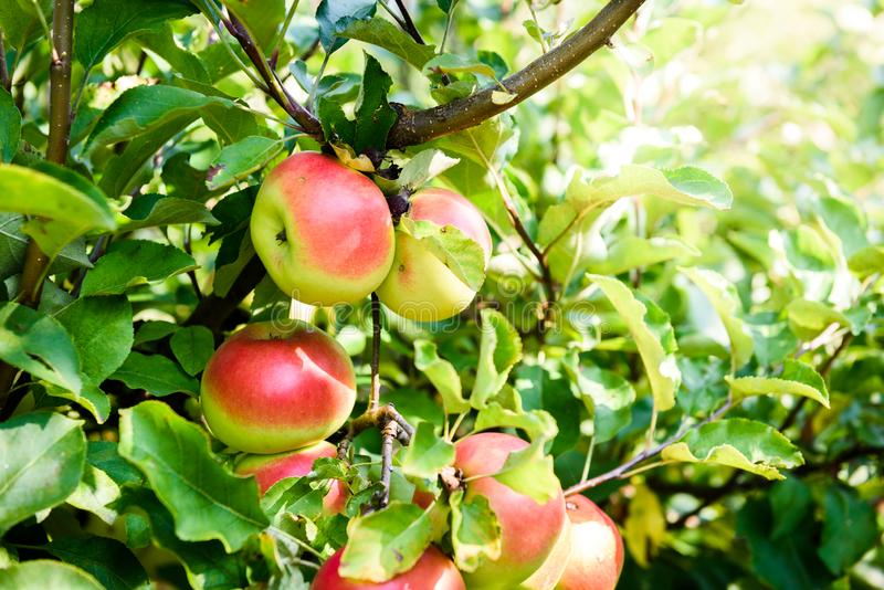 Fresh ripe organic apples on tree branch in apple orchard. stock photo