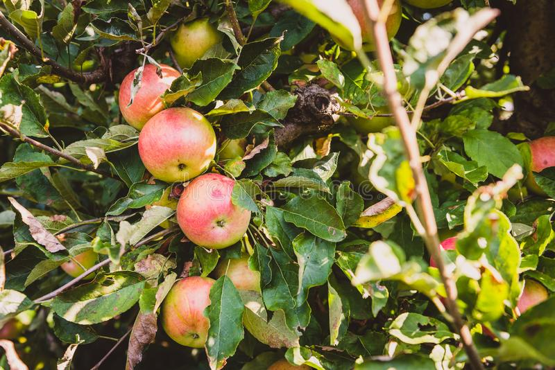 Fresh ripe organic apples on tree branch in apple orchard. stock image