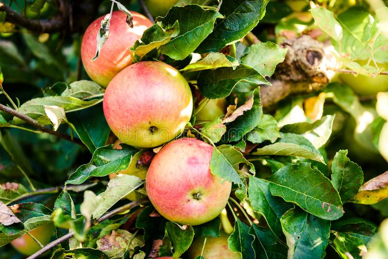 Fresh ripe organic apples on tree branch in apple orchard. royalty free stock photography