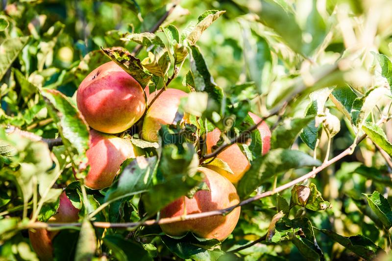 Fresh ripe organic apples on tree branch in apple orchard. royalty free stock photo