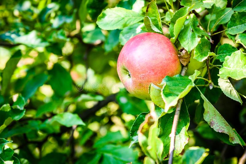 Fresh ripe organic apples on tree branch in apple orchard. royalty free stock image