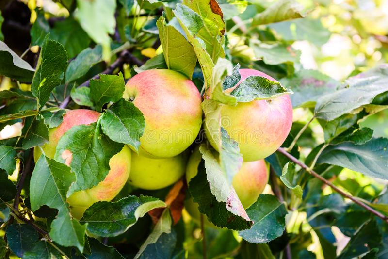 Fresh ripe organic apples on tree branch in apple orchard. stock photography
