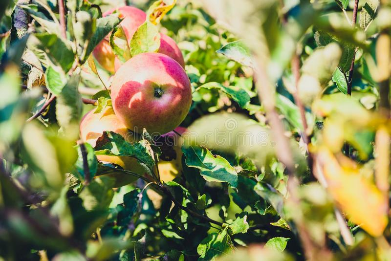 Fresh ripe organic apples on tree branch in apple orchard. royalty free stock images