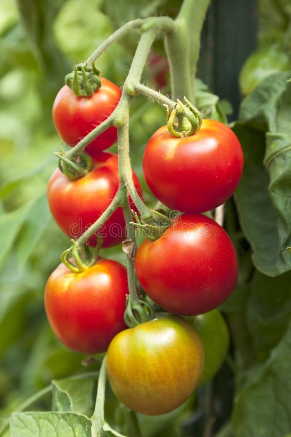 Fresh, ripe, organic, red cherry tomatoes growing on vine in vegetable garden stock images