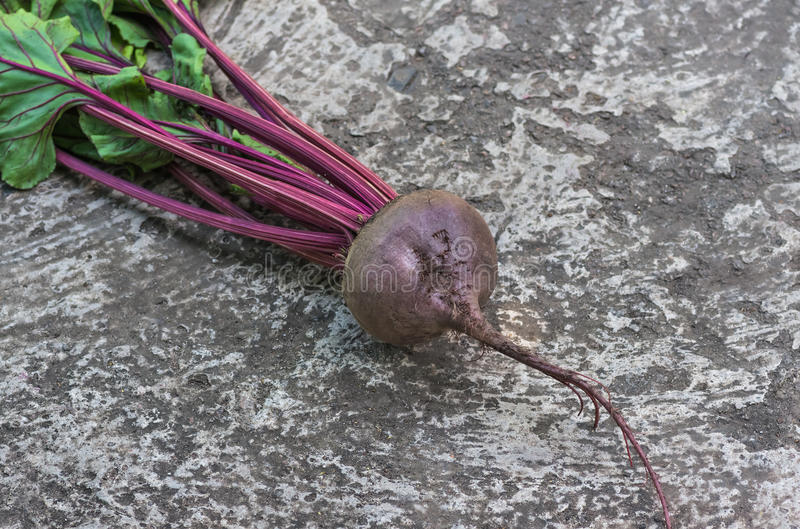 Fresh ripe organic roots beet. Fresh, ripe, organic roots beet assembled into garden. agriculture background stock photos