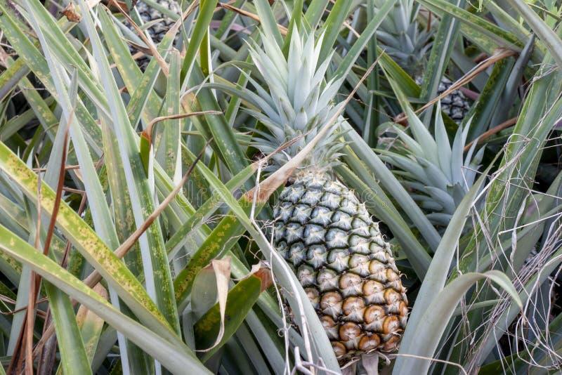 Fresh ripe pineapple on tree. royalty free stock photos