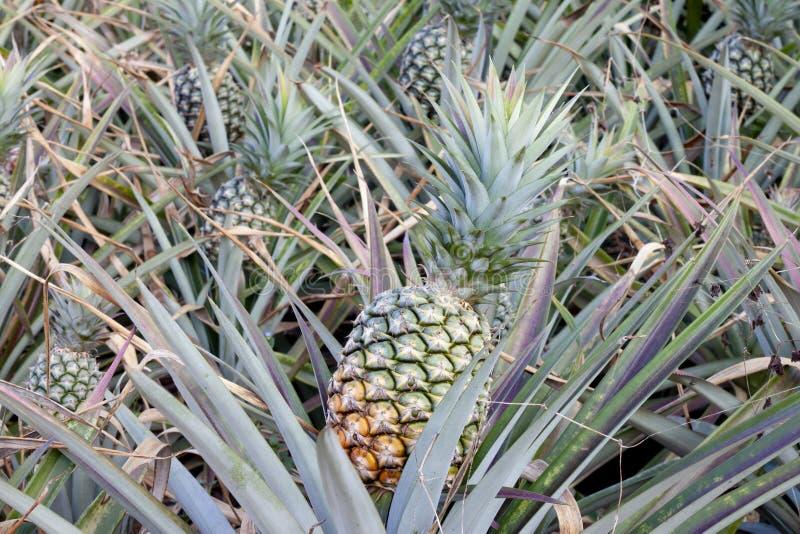 Fresh ripe pineapple on tree. stock photos