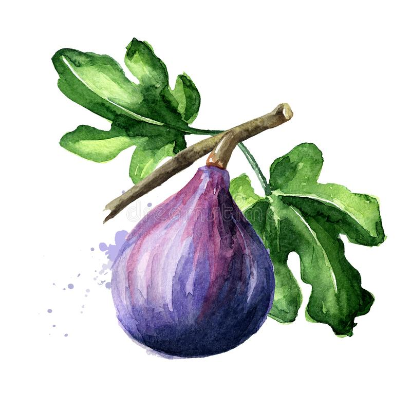 Fresh ripe purple fig fruit and leaves on a branch. Watercolor hand drawn illustration isolated on white background stock photo